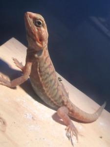 White hypo trans silk back bearded dragon!!