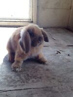 Cute holland lop bunny