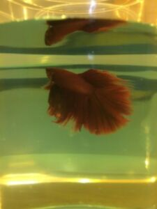 Betta fish Halfmoon HM, plakat HMPK Crown tails CT Male female