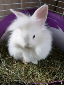 ADORABLE Lion Lop and Lion Head baby bunnies AVAILABLE