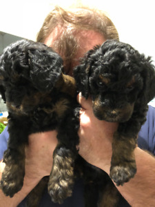 2 Gorgeous Black and Red Phantom Miniature Poodles