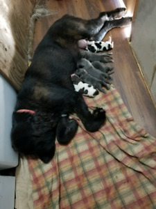 Hunterhill Kennel has pups available
