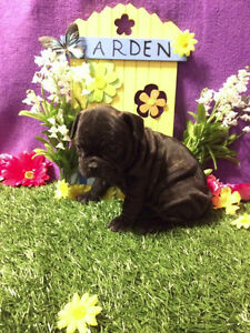 French Bulldog Healthiest Puppies!!