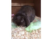 Lovely chocolate doe mini lop