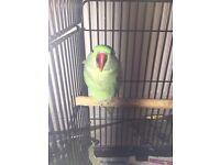 Alexandrina parrot