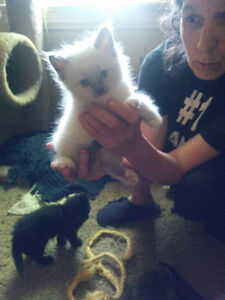 Kittens available $200 and up
