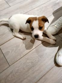 Bulldog/rottweiler pup