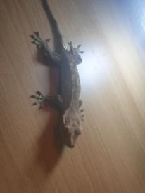 Corn Snake, leopard geckos, crested geckos, centipedes