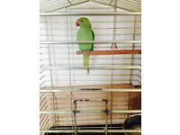 4 months indian ring neck with cage
