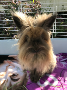 Female Unfixed Lionhead Bunny