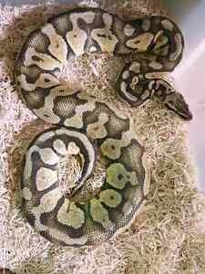 Super Pastel Male Ball Python ♡