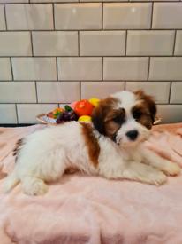 Shichon male puppy