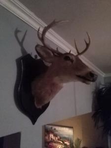 Mounted deer head  Tête de chevreuil