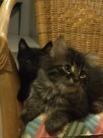 Adorable Manx kittens