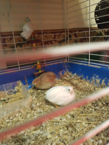 1 laying pair of button quail