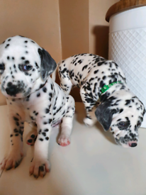ALL PUPS ARE RESERVED KC registered adorable DALMATIAN puppies