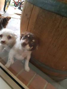 Purebred long coat Chihuahua puppies