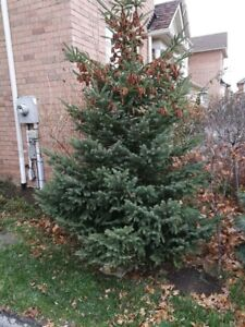 White Spruce Tree 10' You Dig Out Fifty Rd QEW