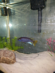 Yellow Tail Acei cichlid fish