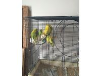 Budgies free to a good home