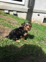 Female Yorkshire Terrier Pup