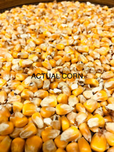 Shelled Feed Corn ForSale