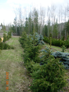Specialty Green Spruce (Grafted)