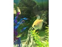 7 WIDOW TETRA FISH GYMNOCORYMBUS