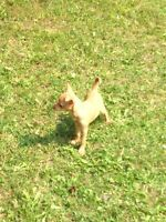 ** CHIHUAHUA PUPPIES **reduced