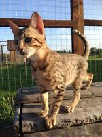 Savannah female cat