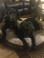 Purebred Black Lab puppies 2 eight week males