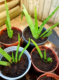 7,9,10cm potted healthy Aloe Vera Plants