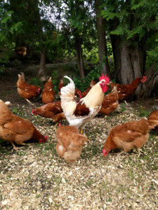 red sex link hens for sale