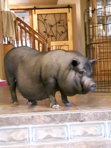 1 year old pot belly pig