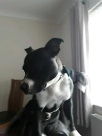 Staffy male Dog