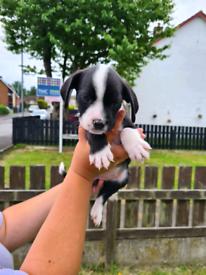 Springer/British bulldog pups