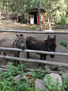 **Two Miniature Donkeys!**