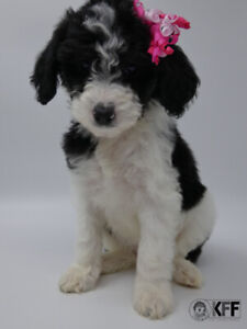 Miniature Health Tested Goldendoodles