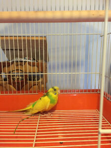 FOUND YELLOW BUDGIE IN HESPELER AREA