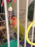 LoveBird for sale WITH cage and accessories