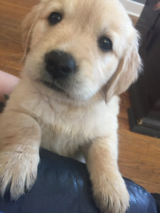 Pure Bred Golden Retriever Puppies
