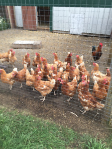 Krazzy Kritters Farm Annual Laying Hens