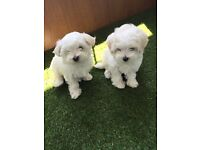 2 Bologness Puppies for sale.