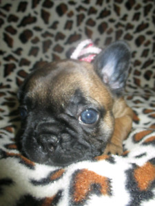*RARE* DEEP RED FRENCH BULLDOG TOP QUALITY PUPPIES!