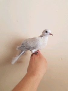 """One """"silkie"""" ring necked dove"""
