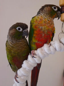 Beautiful Green Cheek Conures for Sale