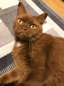 Gssf active british shorthair cat