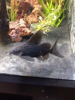 Feather Fin Synodontis Cat Fish