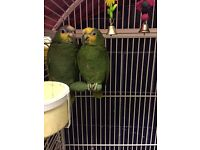 Beautiful Pair of Amazon parrots with huge cage £900