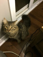 Free 7 month old Silver Tabby